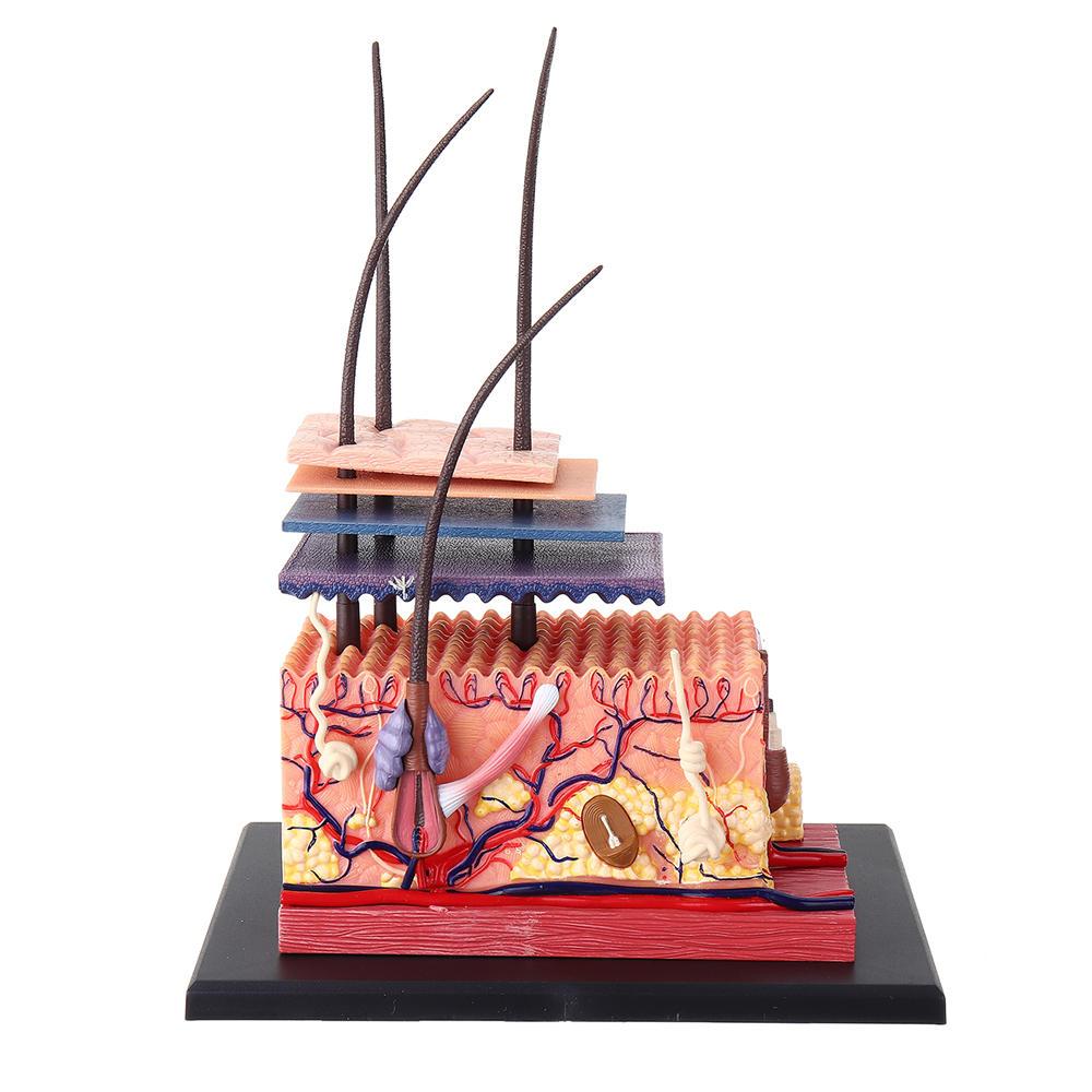 4D Master STEM Skin Hair Human Body Organ Anatomical DIY Teaching Medical Model Puzzle Assembly Decor Toy Gift