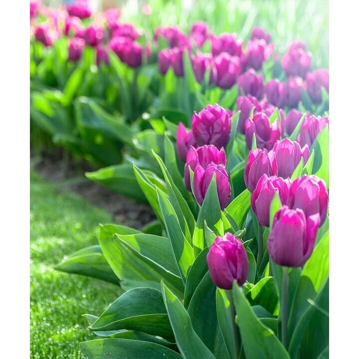 Spring Lavender Trophy Tulip Bulbs - 10, 20, 40 Bulbs (10 Bulbs)