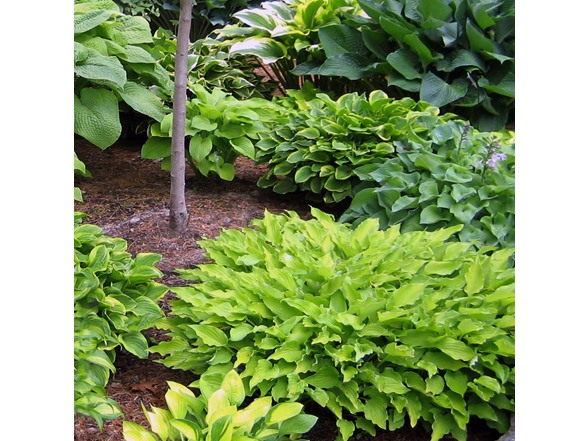 Hosta Perennial Mixed Bare Root Plants