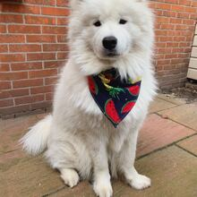 1pc Fruit Print Dog Bandana