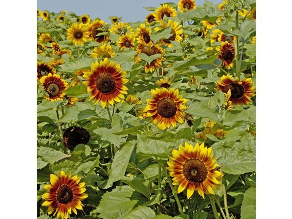 Sunflower Seed Mat Kit