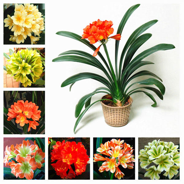 Egrow 100 Pcs/Pack Potted Clivia Seeds China Clivia Potted Flowers Seedling Outdoor Bonsai Balcony Flower