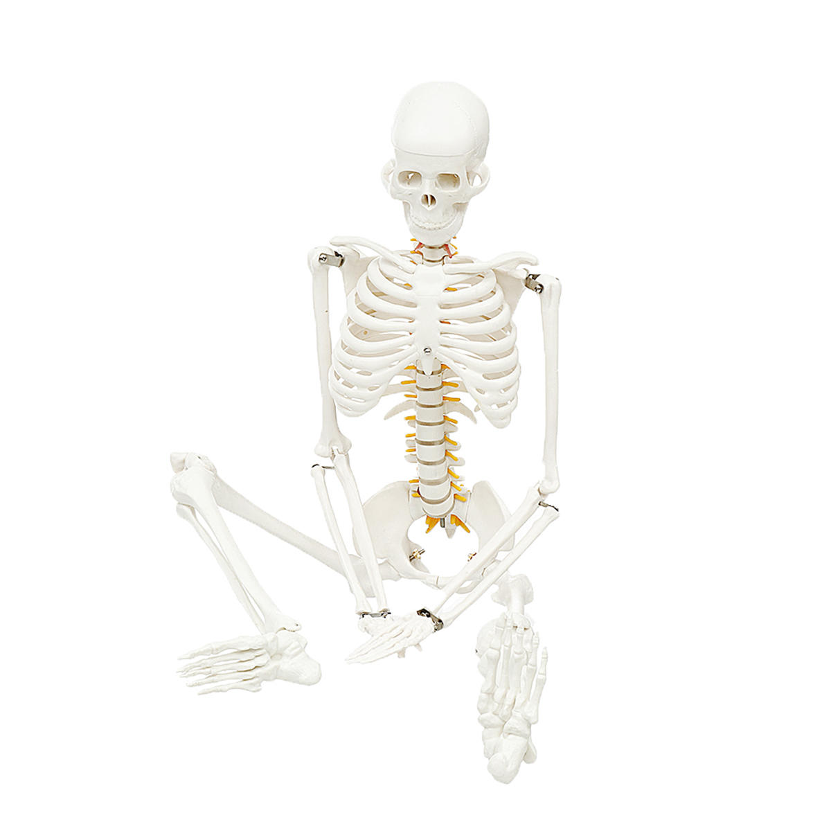 85cm Lifesize Detachable Human Skeleton Bone Model Removable Arms Legs w Stand Anatomical Model Decorations