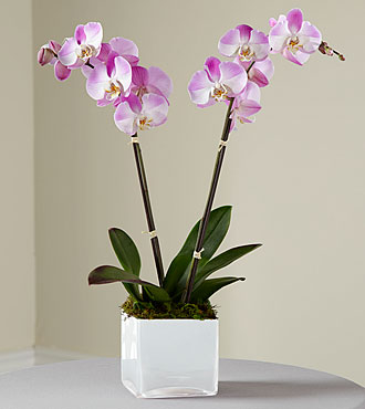 FTD Pink Orchid Planter