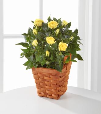 Lighthearted Moments Mini Rose Plant - FedEx