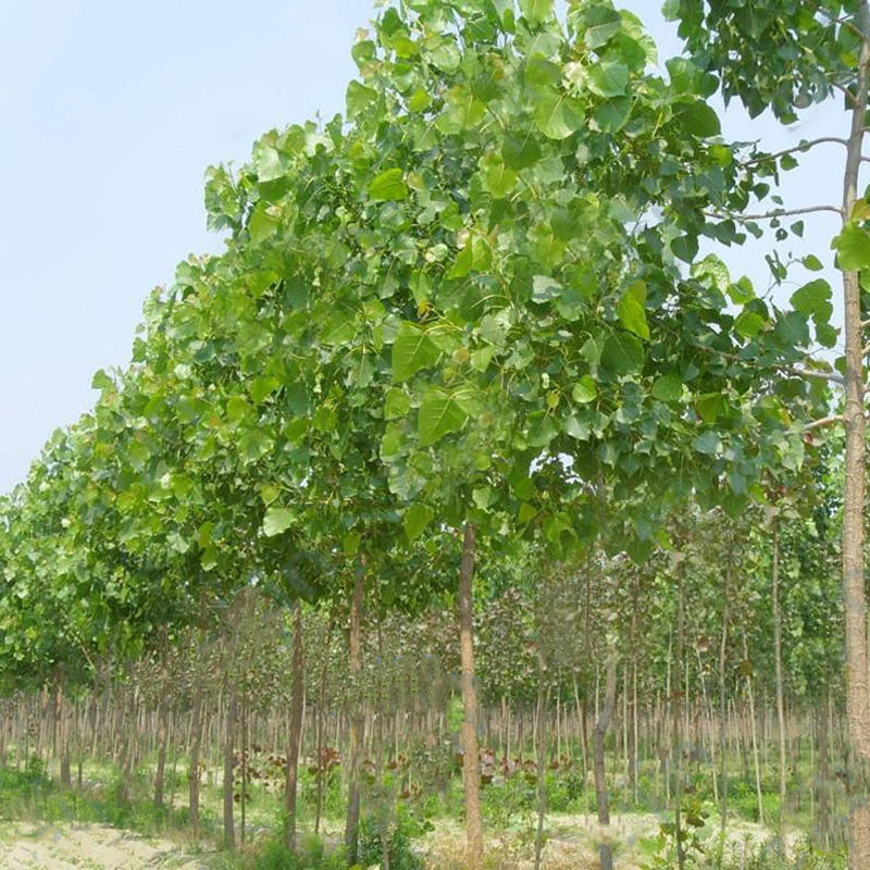 Egrow 100PCS/Pack Paulownia Elongata Seeds Forest Tree Bonsai Fast Growing Tree For Garden